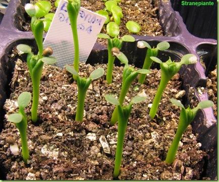 seedling euphorbia obesa