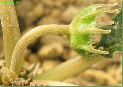 Dorstenia crispa fiore lato