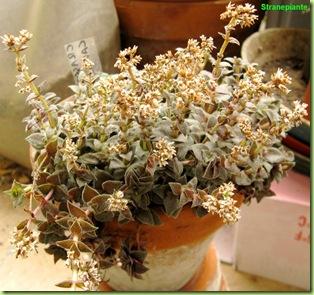 crassula exilis fiori secchi
