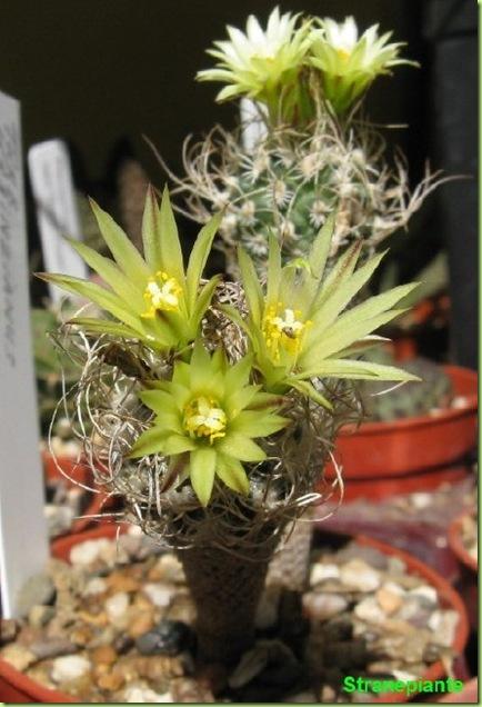 T. pseudomacrochele ssp. krainzianus var. minimus