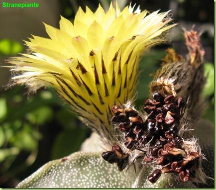 fiore Astrophytum myriostigma e semi