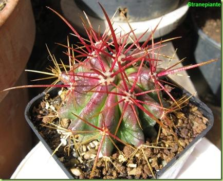 bo12 ferocactus bo5