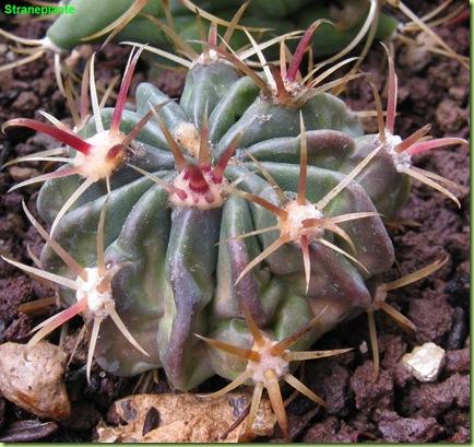 bo15 ferocactus bo1