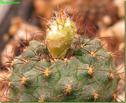 frailea primo fiore maturo