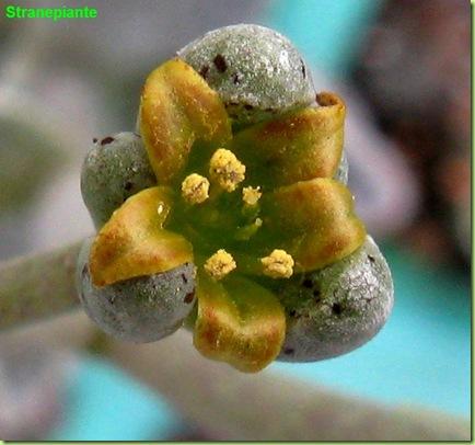 Lenophyllum guttatum fiore
