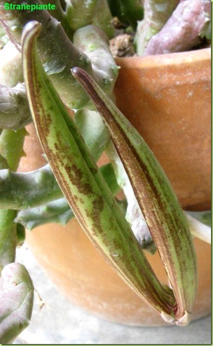 Orbea variegata follicolo