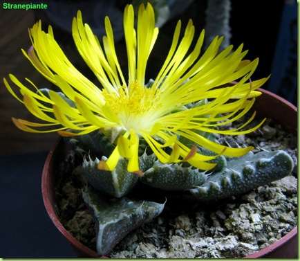 Faucaria felina ssp tubercolosa fiore 2 anni semina