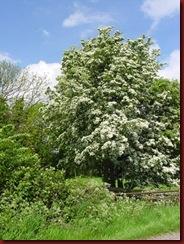 hawthorn-tree3