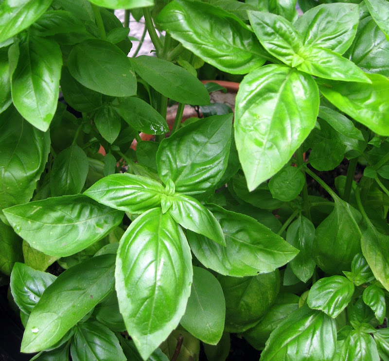 Fresh basil is key to good pesto and remember basil leaves get more and more bitter which each harvest