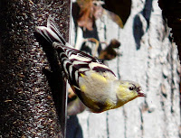 Molting Goldfinch, March 29th in the yard