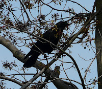 Croton the American Crow