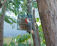 Marvelous Led-belly on the suet feeder