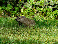 Mary the Groundhog in the yard, May 22, 2009