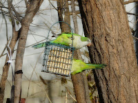 2 Monk Parakeets in the yard, December 12, 2009. All photos taken through the window so I didn't disturb them.