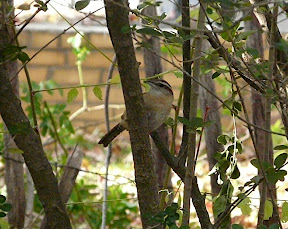 Cute Carolina Wren - there are two in the yard lately