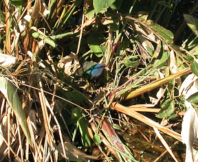 Lifer Purple Gallinule! This is over at Wakodohatchee Wetlands, just 5 minutes from Green Cay
