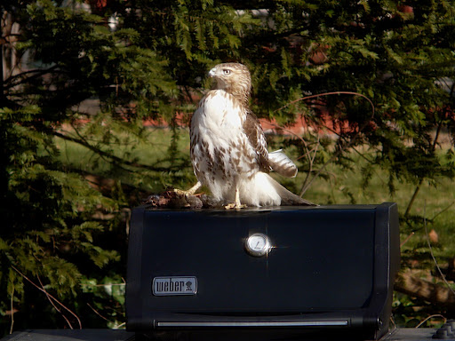 Red-tailed Hawk with squirrel on BBQ - yard, Dec. 20, 2010