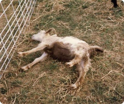 Bodes e Cabras com Miotonia Congênita