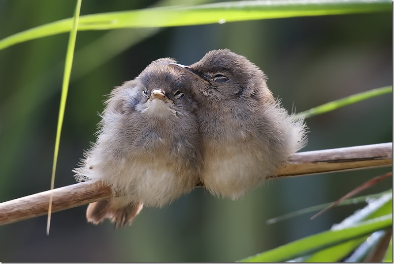 Cuddling Reed Warblers by Dennis Rademaker