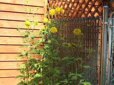 Tall yellow flower name mightylinksfo