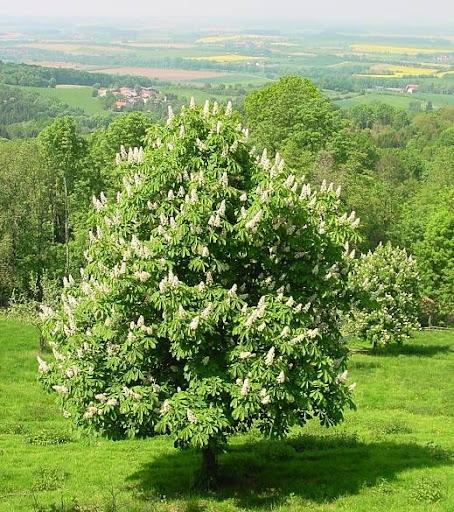 Plants Profile - Aesculus hippocastanum L. (Sapindaceae ...