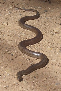 399px-Eastern_Brown_Snake_-_Kempsey_NSW