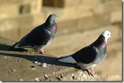 01_37_2---Pigeons_web