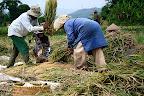 Frappage du riz pour separer les grains des tiges