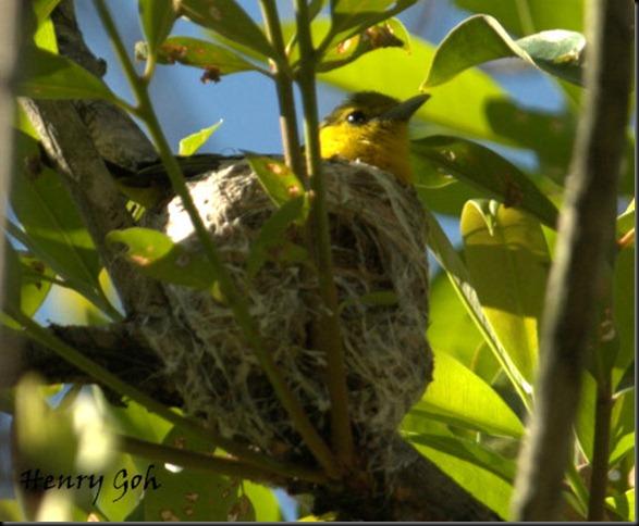 Nesting Oriole 7