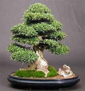 [ilex-crenata-bonsai[2].jpg]