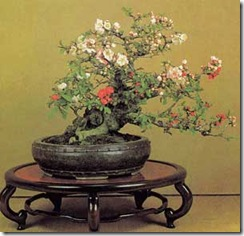 chaenomeles-speciosa-bonsai