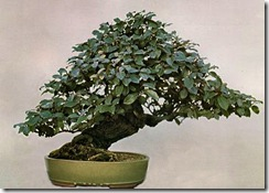 Eleagnus, John Naka Bonsai Techniques I