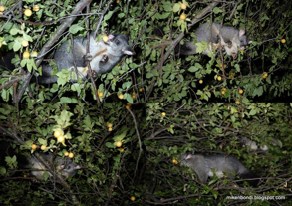 Possums in the greengage tree