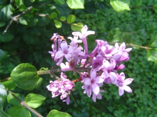 image of lilac blossom