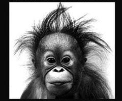 scimmia spettinata