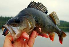 gafsele-pêche-suède-laponie-perche_004