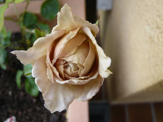 braune rosen 2009 mein sch ner garten forum. Black Bedroom Furniture Sets. Home Design Ideas