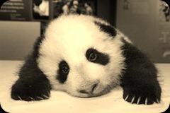 pooped panda