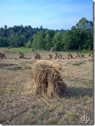 Wheat in shocks