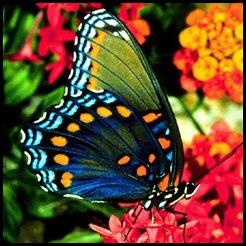 Cópia de borboleta11