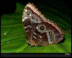morpho-butterfly-laman-401168-xl