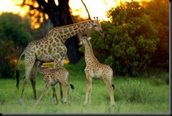 young-african-wildlife-safari-2-young-giraffe-w-michael-poliza-b