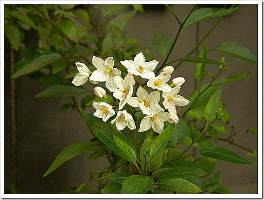 Potato Vine Flowers