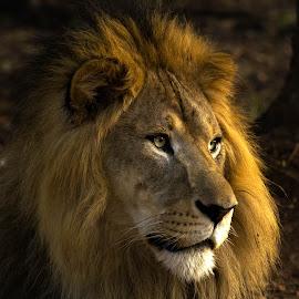 George of the jungle by Abinav Shankar - Animals Lions, Tigers & Big Cats ( big cat, lion, adult lion, asiatic lion, lion king, male lion, asian,  )
