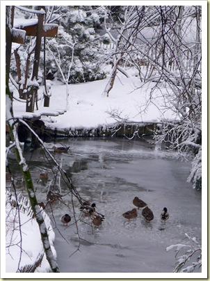 canards sur la glace