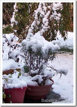 romarin sous la neige