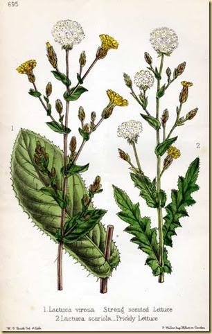 Plantas medicinales y ornamentales lechuga silvestre for Plantas ornamentales y medicinales