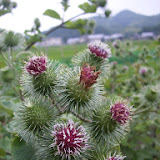 ごぼうの花.JPG
