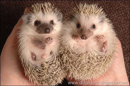 BNPS.co.uk (01202 558833)<br />Pic: Phil Yeomans<br />Pedigree Pygmy Hedgehogs are taking the pet world by storm - with over a years waiting list & people travelling over 500 miles to buy one, demand is outstripping supply for the cute but prickly mammals.<br />6 week old baby hog's.