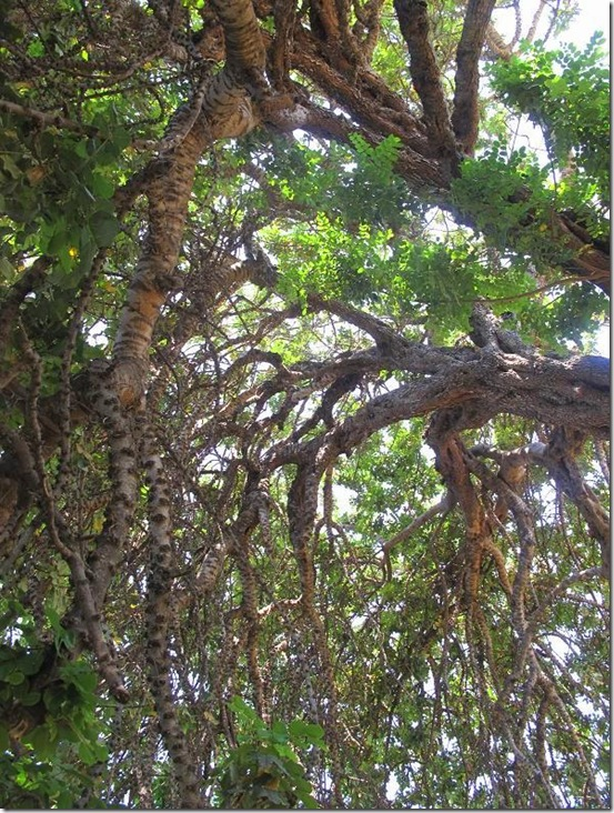 keçi boynuzu ağacı